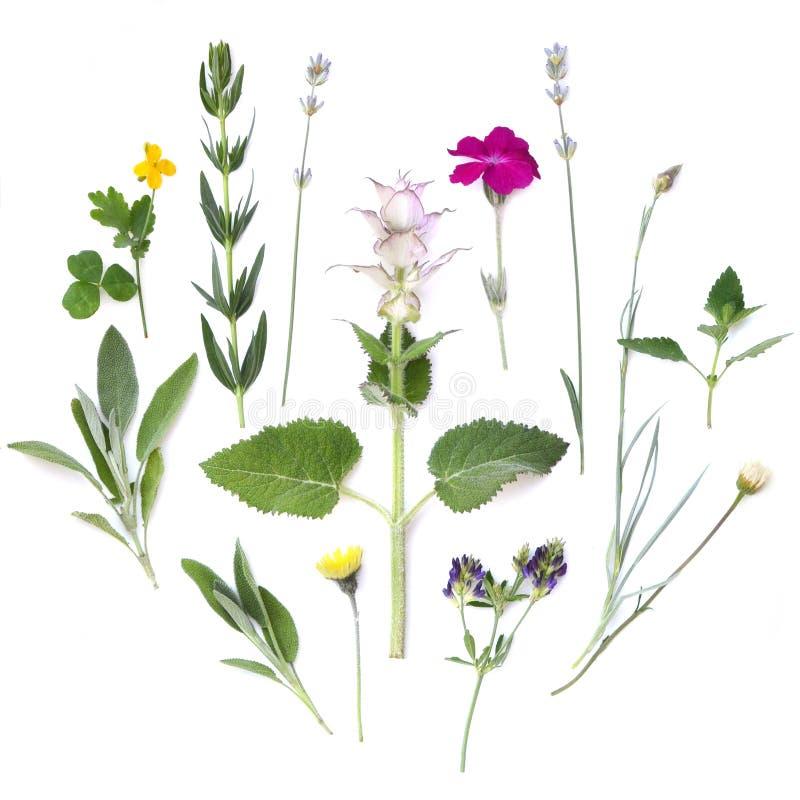 Composizione delle piante e dei fiori su un fondo bianco Erbe aromatiche piccanti medicinali Disposizione piana, vista superiore immagine stock
