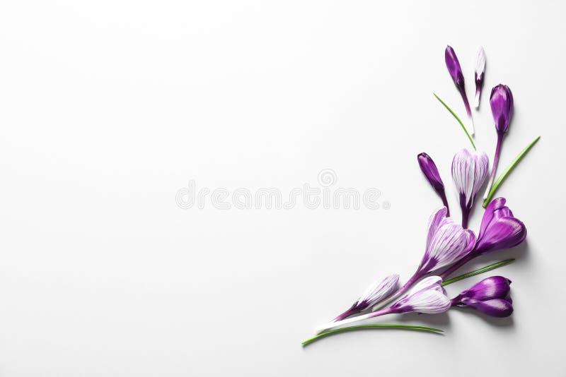 Composizione posta piana con i fiori del croco della molla su fondo bianco fotografia stock