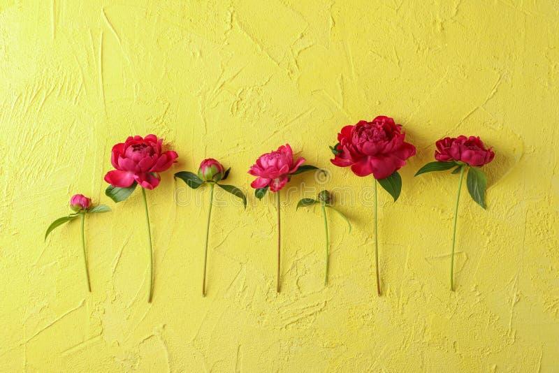 Composizione posta piana con le belle peonie sul fondo di colore fotografie stock