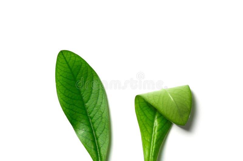 Composizione posta piana creativa con le orecchie del coniglietto di pasqua delle foglie su fondo bianco immagine stock libera da diritti