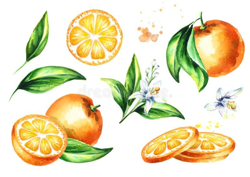 Composizioni arancio fresche messe Illustrazione disegnata a mano dell'acquerello, isolata su fondo bianco illustrazione vettoriale