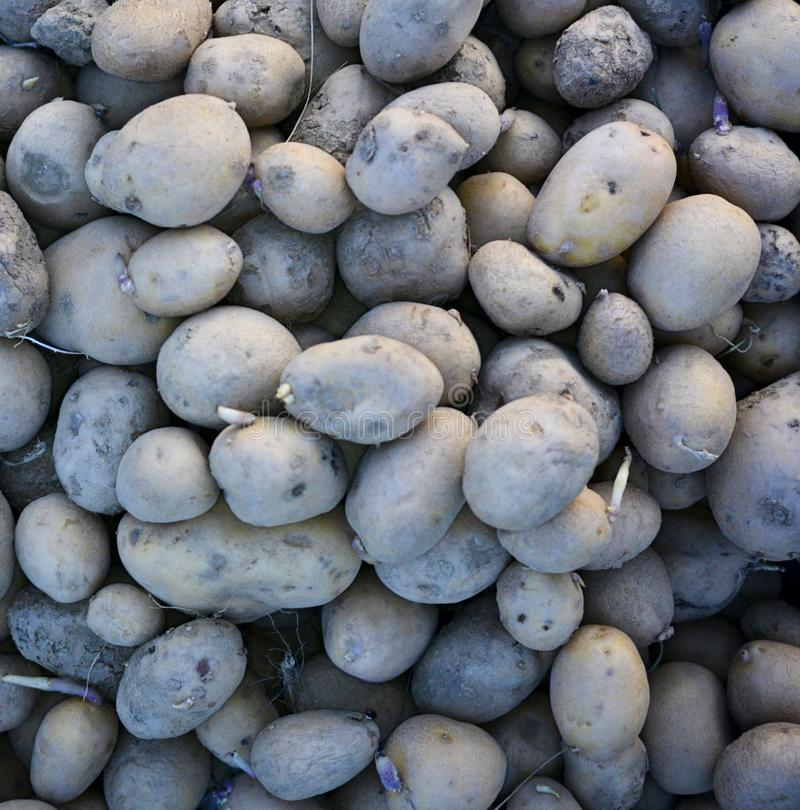 Compost Pile of Rotting Potatoes, close up royalty free stock images
