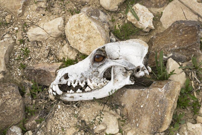 Composto de um crânio canino e do olho de um cão vivo foto de stock