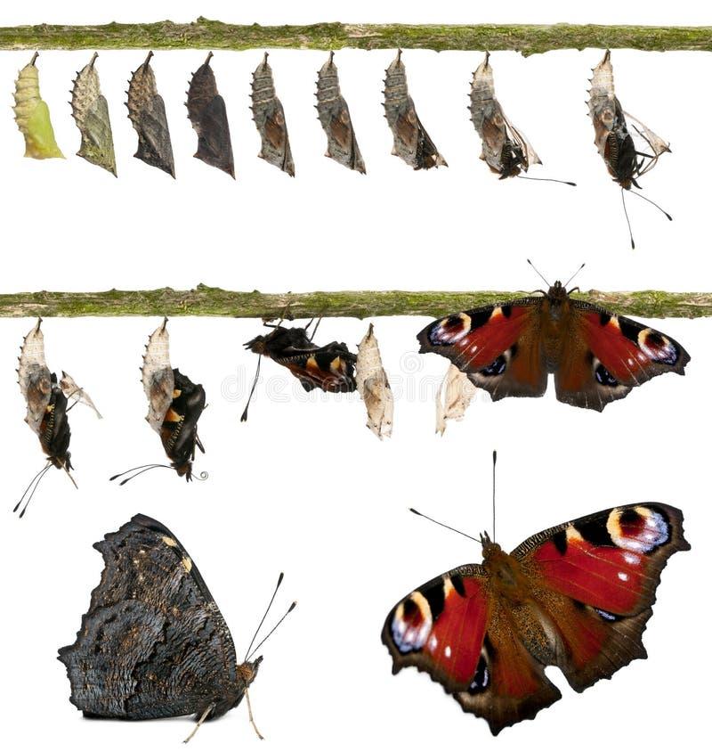 Composto della farfalla del pavone immagini stock