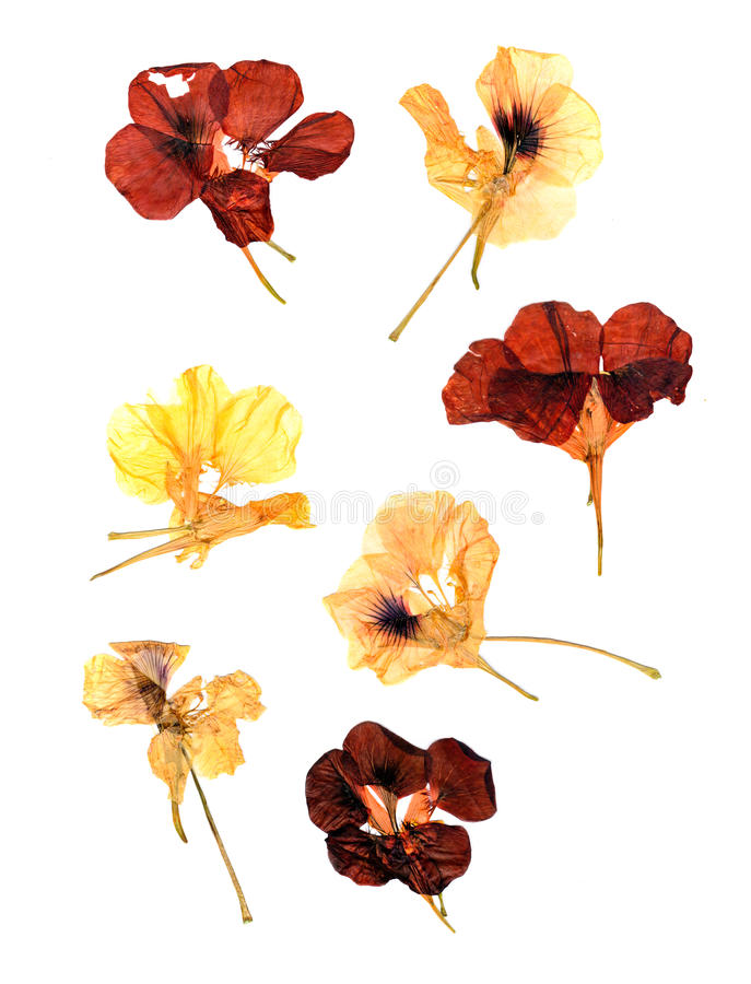 Compressed nasturtium petals spread out isolated on white stock illustration