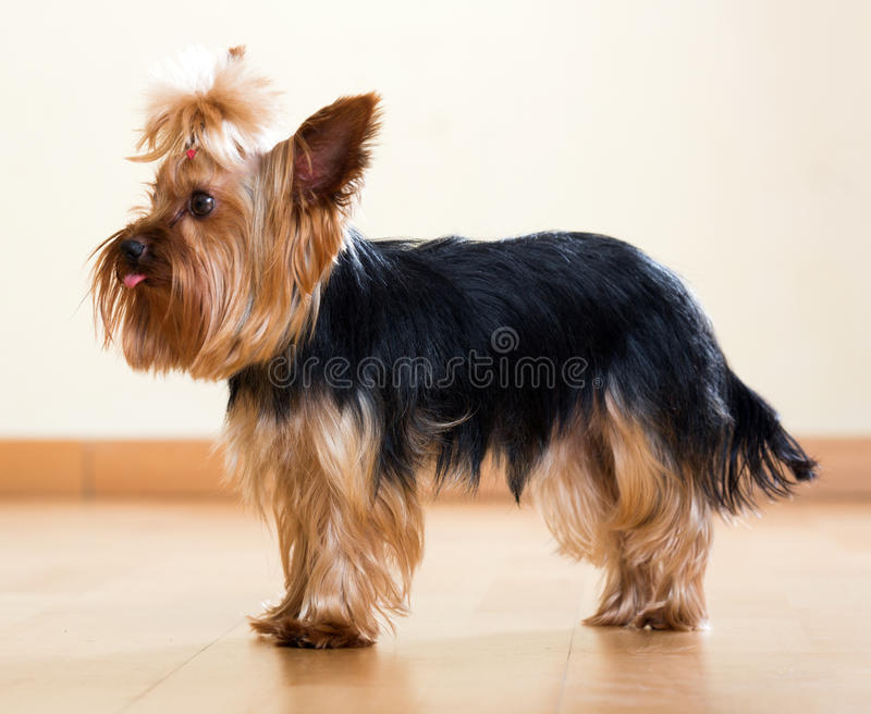 Comprimento completo disparado do yorkshire terrier foto de stock royalty free