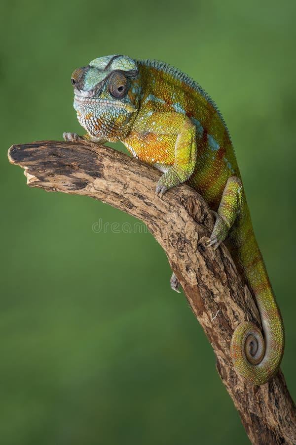 Comprimento completo do camaleão da pantera imagens de stock royalty free