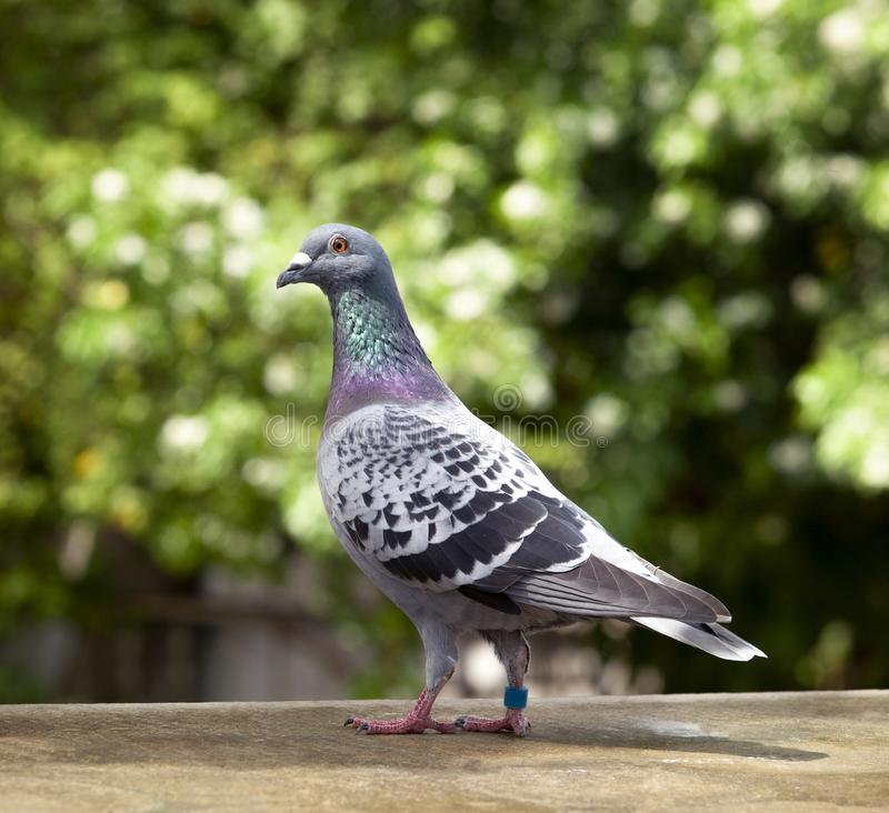 Compruebe el modelo de la pluma de la paloma que compite con de la velocidad autoguiada hacia el blanco en el tejado del desván imagenes de archivo