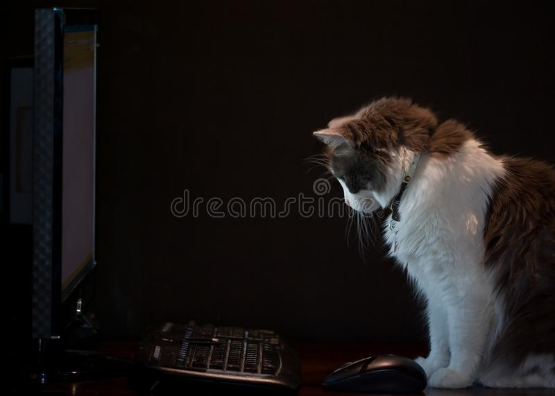 Computer Cat royalty free stock images