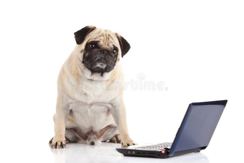 Computer del cane del carlino isolato su fondo bianco fotografie stock libere da diritti