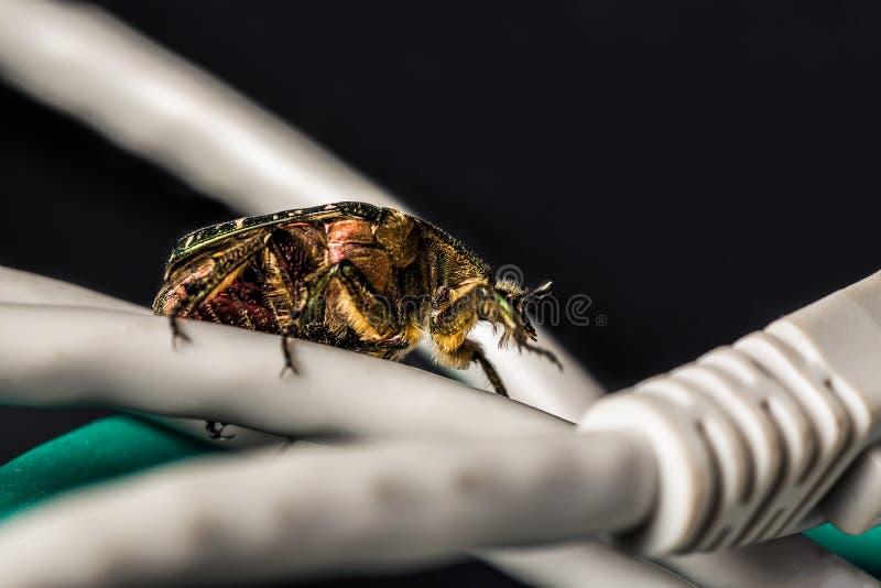Computer en van het netwerkeninsect concept Het insect op computer ethernet kabels sluit omhoog op zwarte achtergrond Selectieve  royalty-vrije stock fotografie