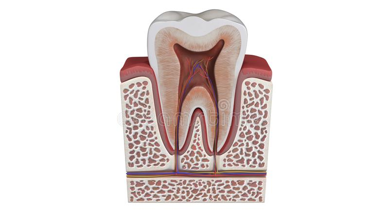 3D illustration of a tooth anatomy. Computer generated 3D illustration of a tooth anatomy on a white background royalty free illustration