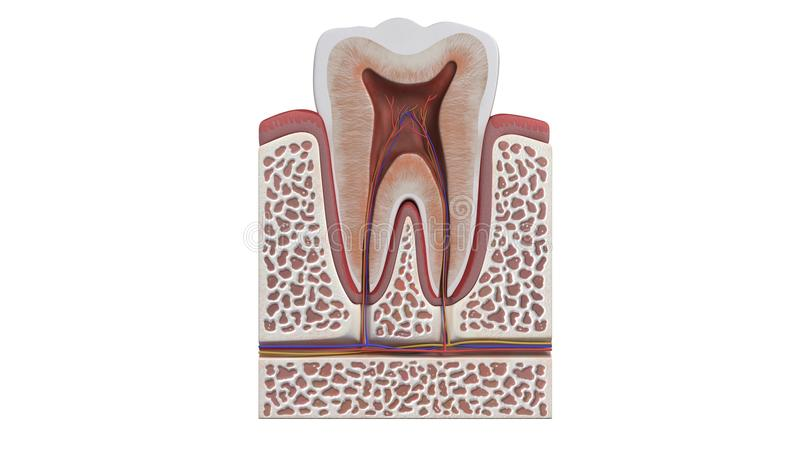 3D illustration of a tooth anatomy. Computer generated 3D illustration of a tooth anatomy on a white background stock illustration