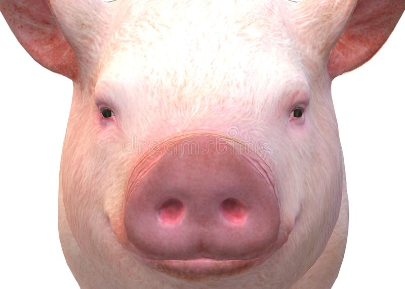 A closeup front face of a pig against a white backdrop royalty free stock images