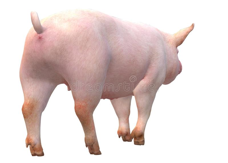 A rear view of a pig against a white backdrop royalty free stock image