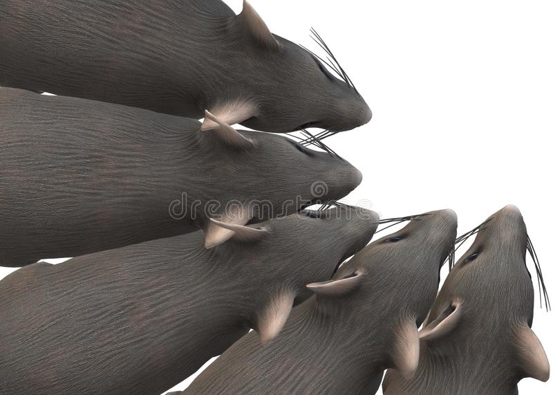 Top down view of several rats sniffing bunched up at a corner stock photo