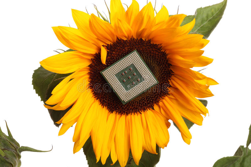 Computer Microchip On Sunflower Royalty Free Stock Photos