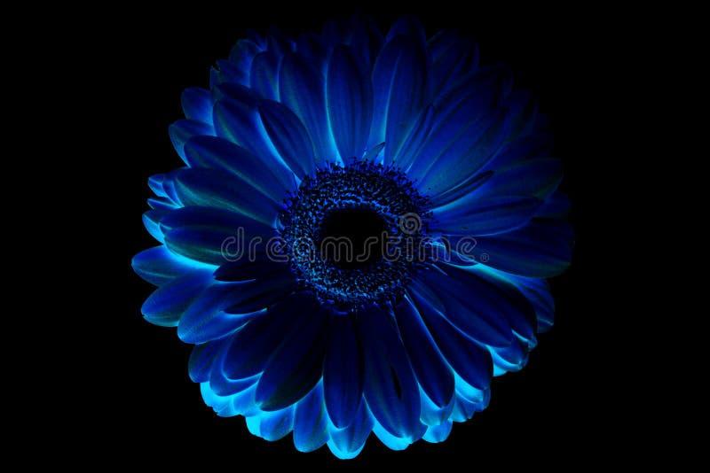 computerverwerking, inversie, blauwe bloem eenzame gerbera op zwarte geïsoleerde achtergrond stock foto's