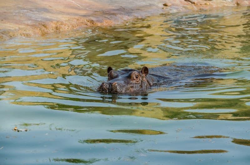 Comum barato do hipopótamo que flutua em uma lagoa imagem de stock royalty free