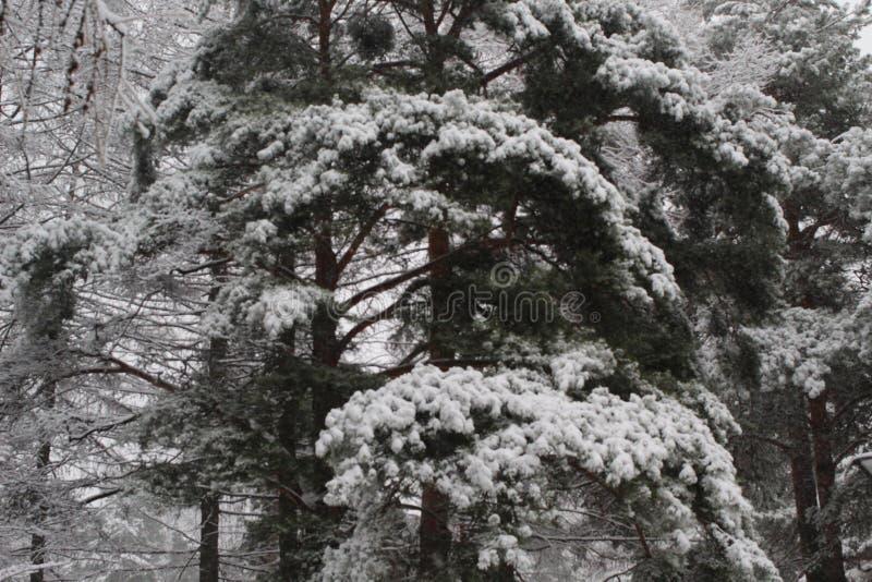 Conífer durante queda de neve fotos de stock