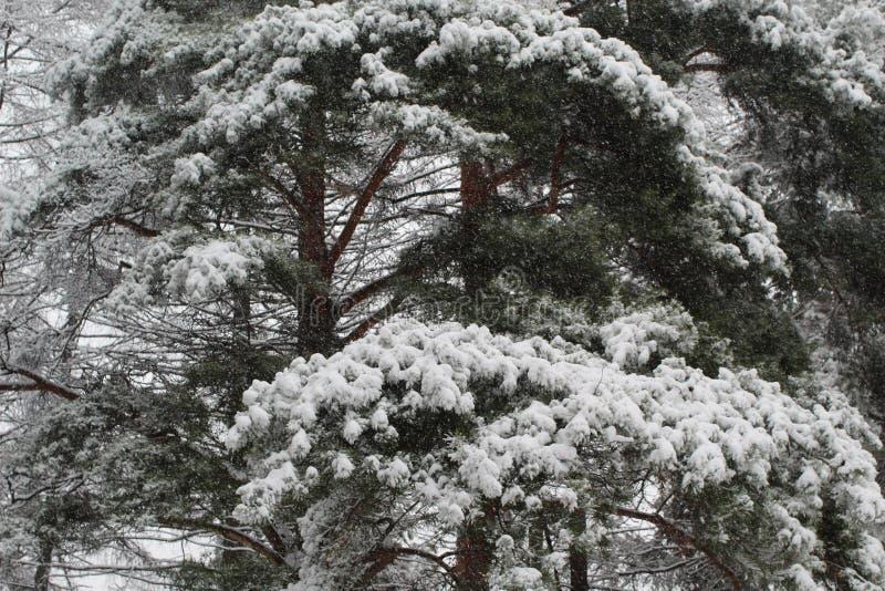 Conífer durante queda de neve foto de stock royalty free