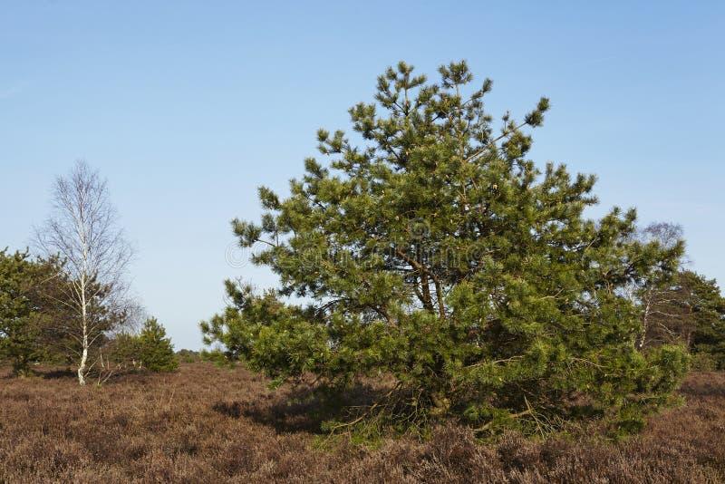 Coníferas en tierra en primavera fotografía de archivo libre de regalías