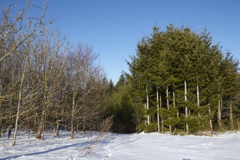 Coníferas y árboles calvos en un snowscape fotografía de archivo libre de regalías