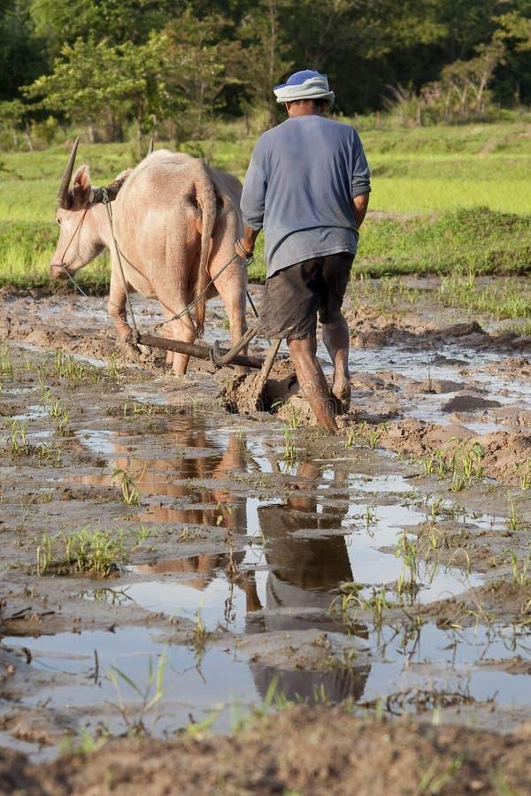 Are con el búfalo de agua, campo Asia del arroz fotos de archivo