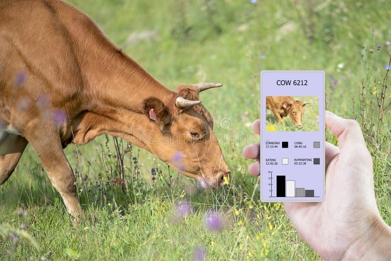 Con la ayuda de tecnologías modernas en la agricultura determinar cuánta hora comió una vaca, puesto, caminado y colocado imagen de archivo libre de regalías