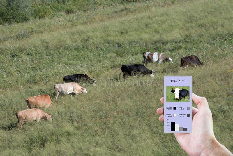 Con la ayuda de tecnologías modernas en la agricultura determinar cuánta hora comió una vaca, puesto, caminado y colocado imágenes de archivo libres de regalías
