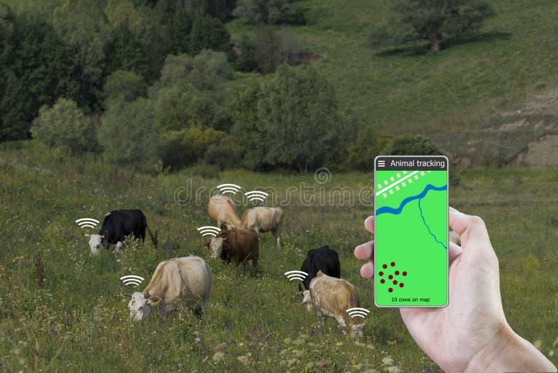Con la ayuda de un smartphone y de un sensor en la vaca determine la ubicación de la vaca Cultivo elegante imágenes de archivo libres de regalías