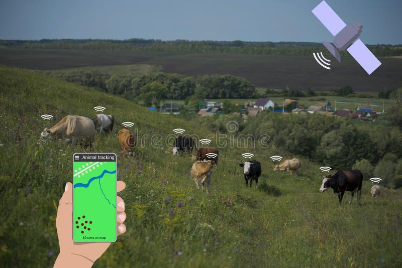 Con la ayuda de un smartphone y de un sensor en la vaca determine la ubicación de la vaca Cultivo elegante foto de archivo libre de regalías