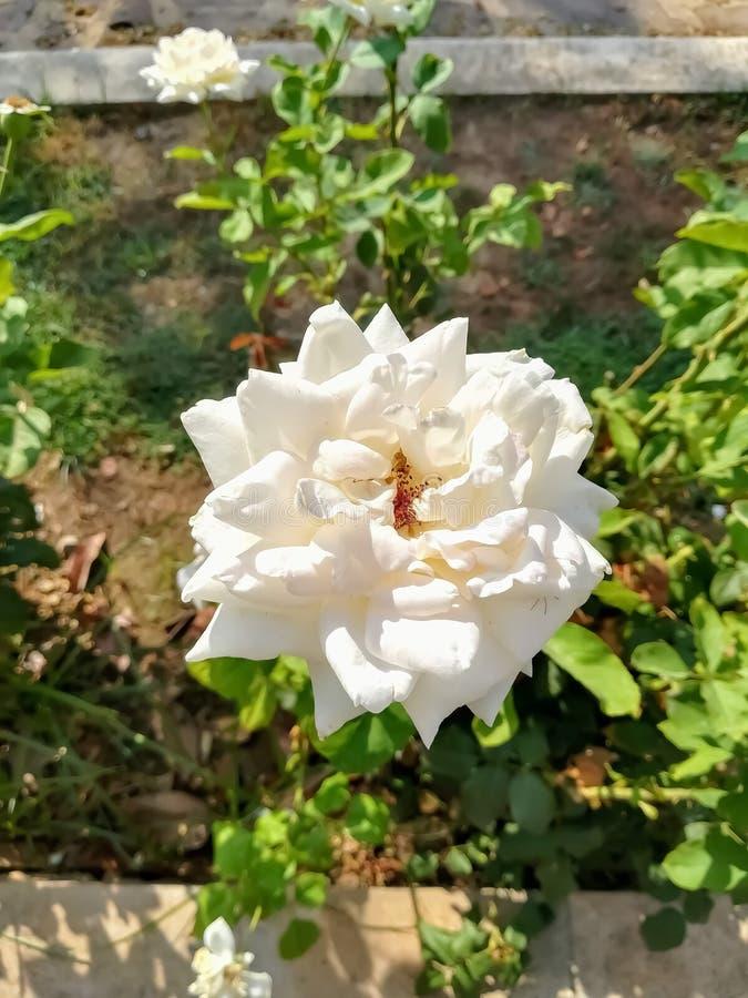 Con la flor color de rosa con el centro amarillo fotografía de archivo