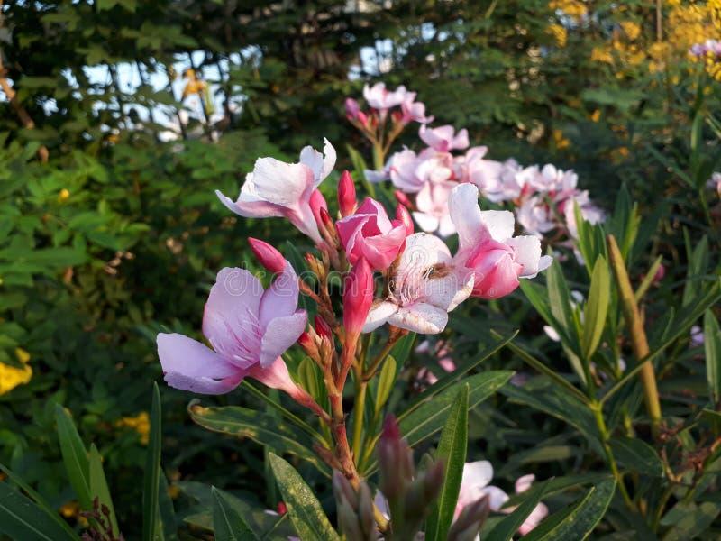 Con molto un piacevole impallidisca il fiore rosa ed un di più rosa il germoglio immagini stock