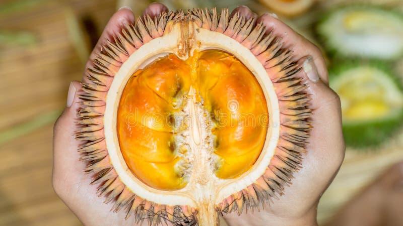 Conatus Mandong, nouvelles espèces de durian des durians qui ont trouvé au Bornéo, avec la chair orange fraîche images libres de droits