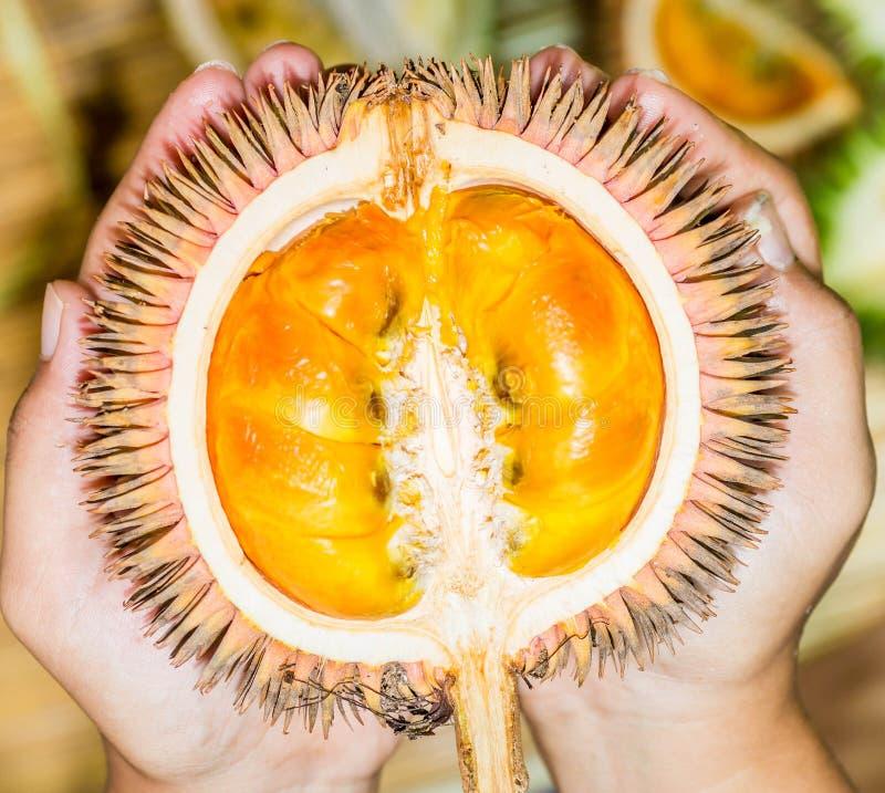 Conatus Mandong, nouvelles espèces de durian des durians qui ont trouvé au Bornéo, avec la chair orange fraîche photo stock