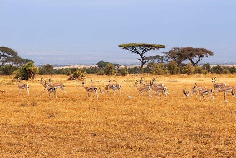 Concede gazelles fotos de stock