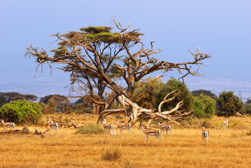 Concede gazelles foto de stock