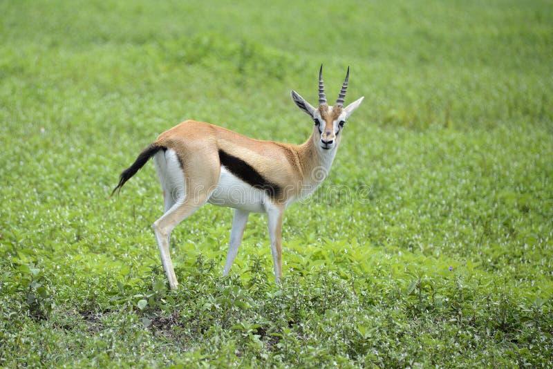 Concede la gacela que mira cuidadosamente para los depredadores fotos de archivo libres de regalías