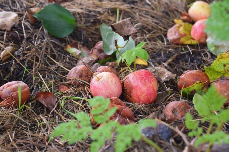 Conceito caído podre do desperdício de alimento da deterioração das maçãs fotos de stock