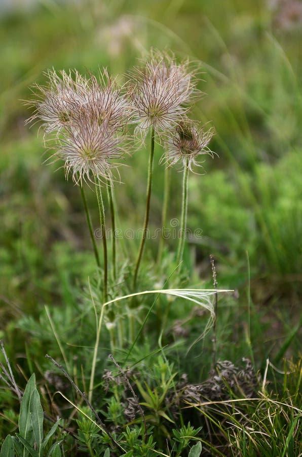 Conceito consciente de Eco Planta de desaparecimento rara do livro vermelho das flores em um fundo da grama verde fotografia de stock royalty free