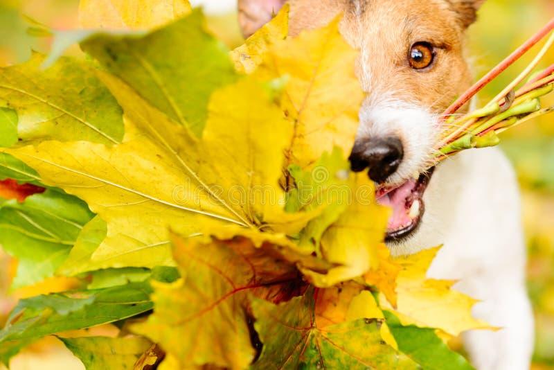 Conceito da ação de graças com as folhas de bordo do cão e do outono fotos de stock royalty free