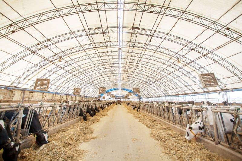 Conceito da indústria, do cultivo e da produção animal da agricultura - ela fotos de stock