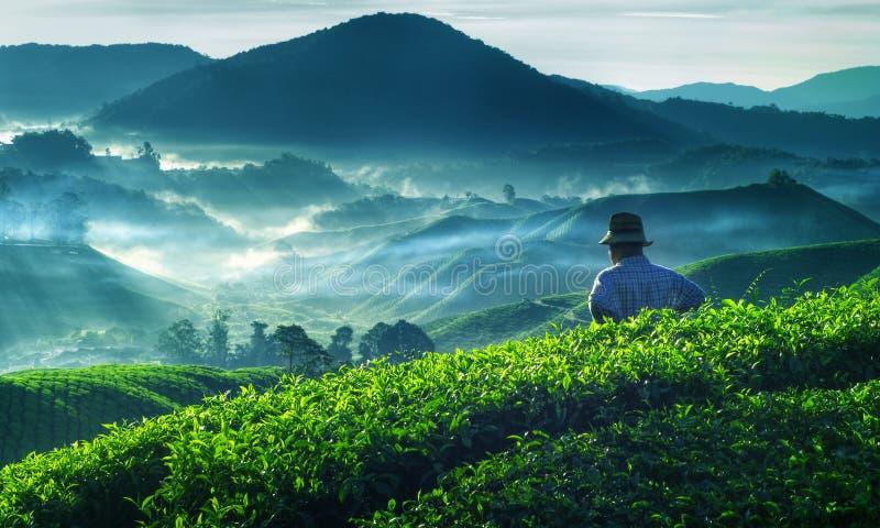 Conceito da ocupação da cultura de Tea Plantation Malaysia do fazendeiro foto de stock