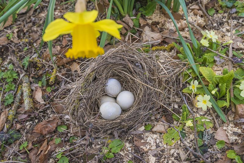 Conceito da Páscoa ou da mola com os ovos do pássaro no ninho fotografia de stock royalty free