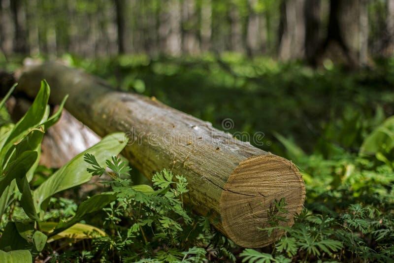 Conceito de madeira dos cotoes do log do desflorestamento com pinheiro fotos de stock royalty free