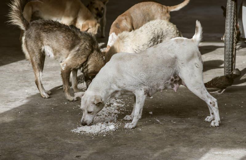 Conceito de vista triste, cão disperso com fome no templo tailandês sitiado para comer um alimento das sobras no assoalho, proces foto de stock