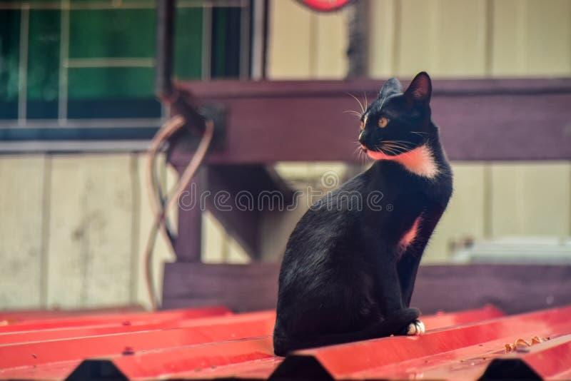 Conceito do animal de estimação, gato no telhado, gato olhar fixamente, instinto predador animal, estilo do vintage imagem de stock royalty free