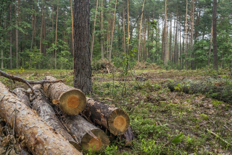 Conceito do desflorestamento Cotoes, logs e ramos da árvore após o corte imagem de stock royalty free
