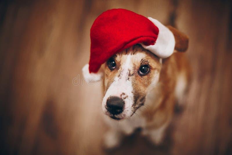 Conceito do Feliz Natal e do ano novo feliz cão bonito em sant vermelho imagem de stock royalty free